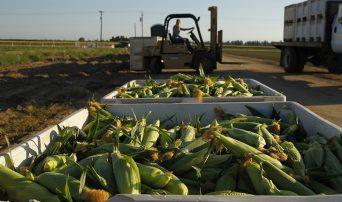 Fresno State sweet corn in bins