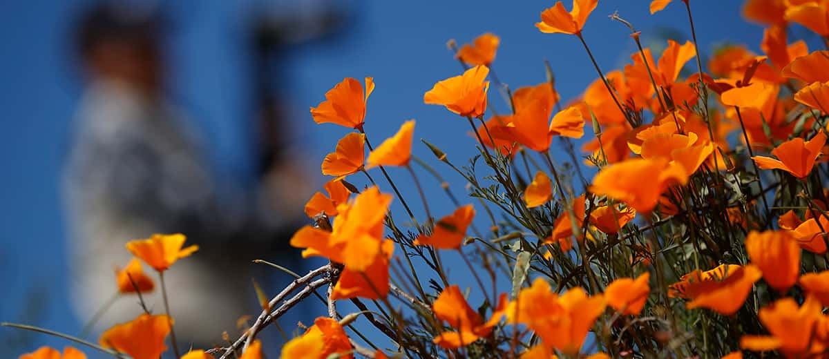 Photo of poppies at Lake Elsinore in California