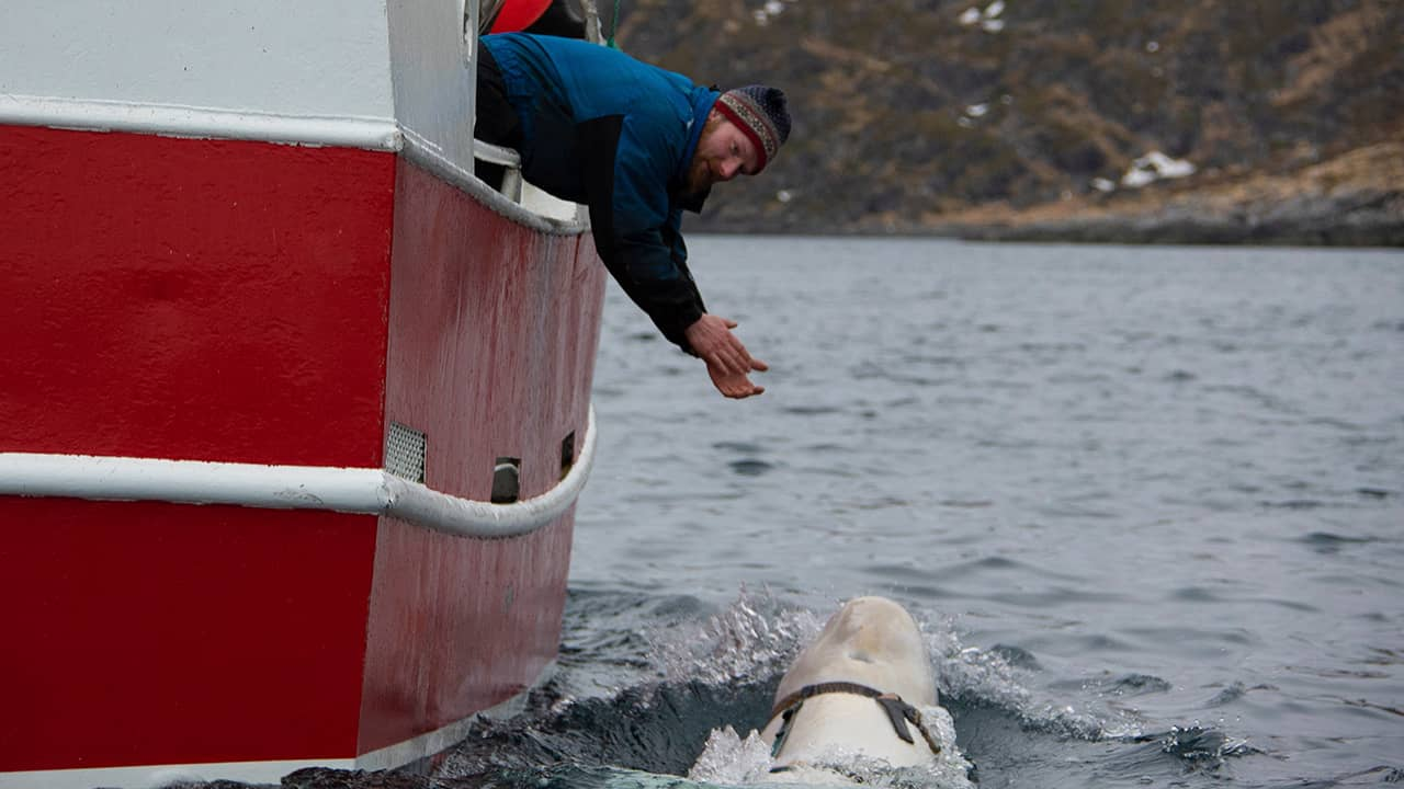 Photo of a fisherman trying to attract a beluga whale
