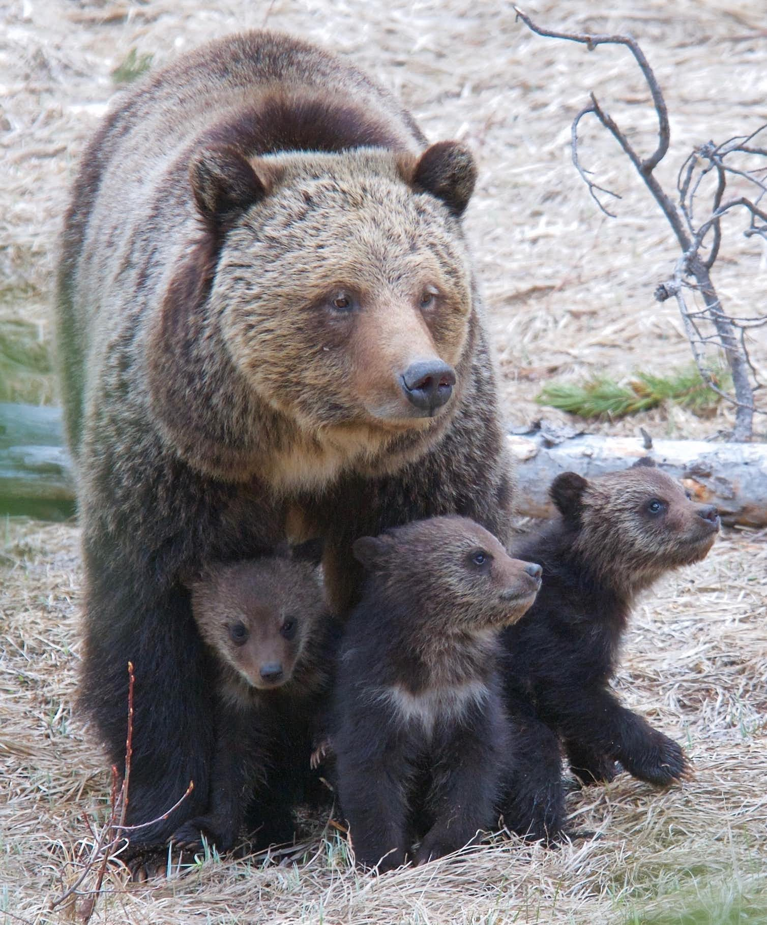 Photo of a mother bear and cubs