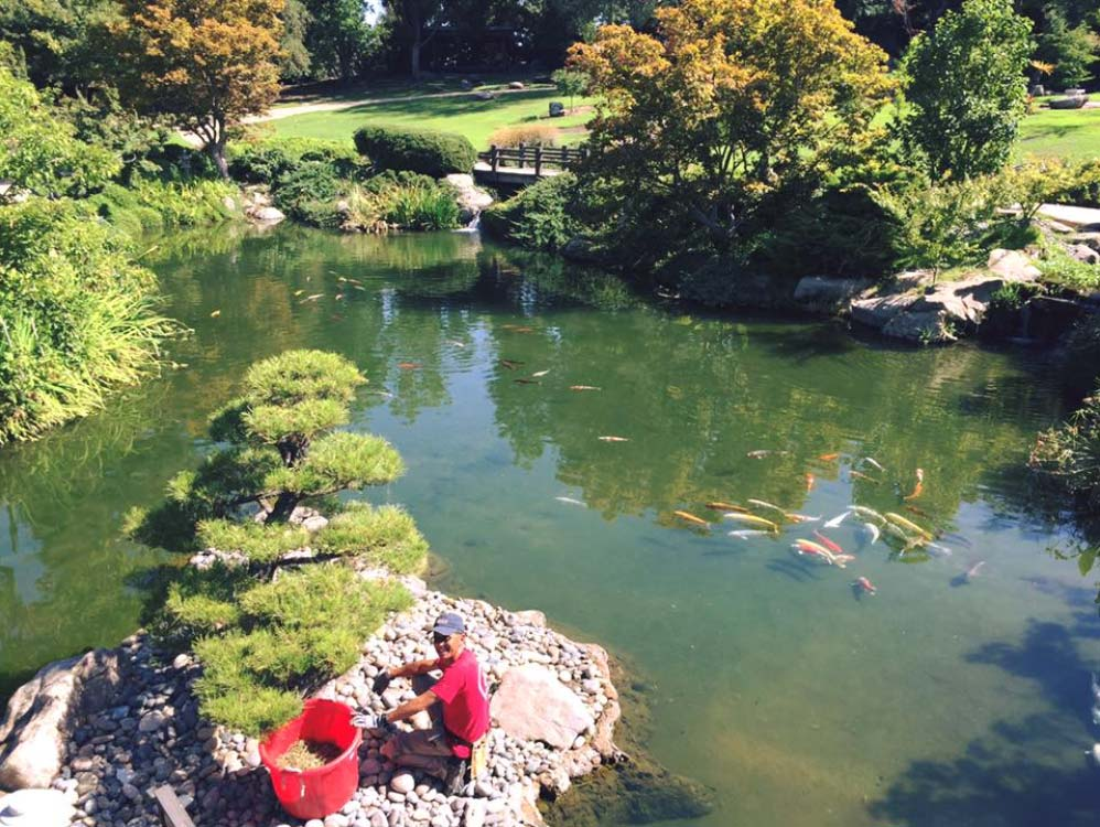 Photo of koi swimming in a pond