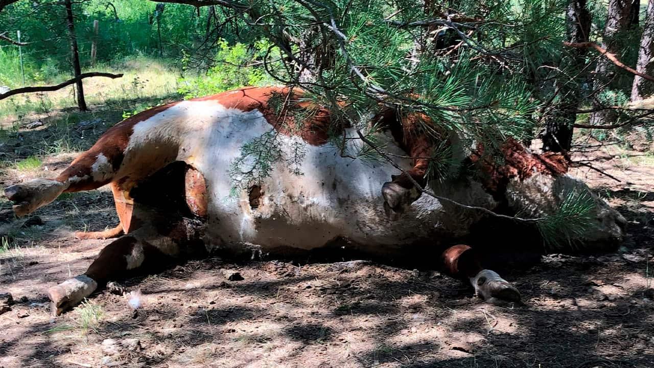 Photo of a dead bull