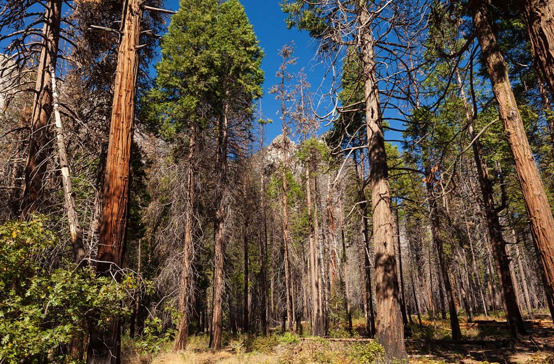 Photo of Tuolumne Grove, Yosemite