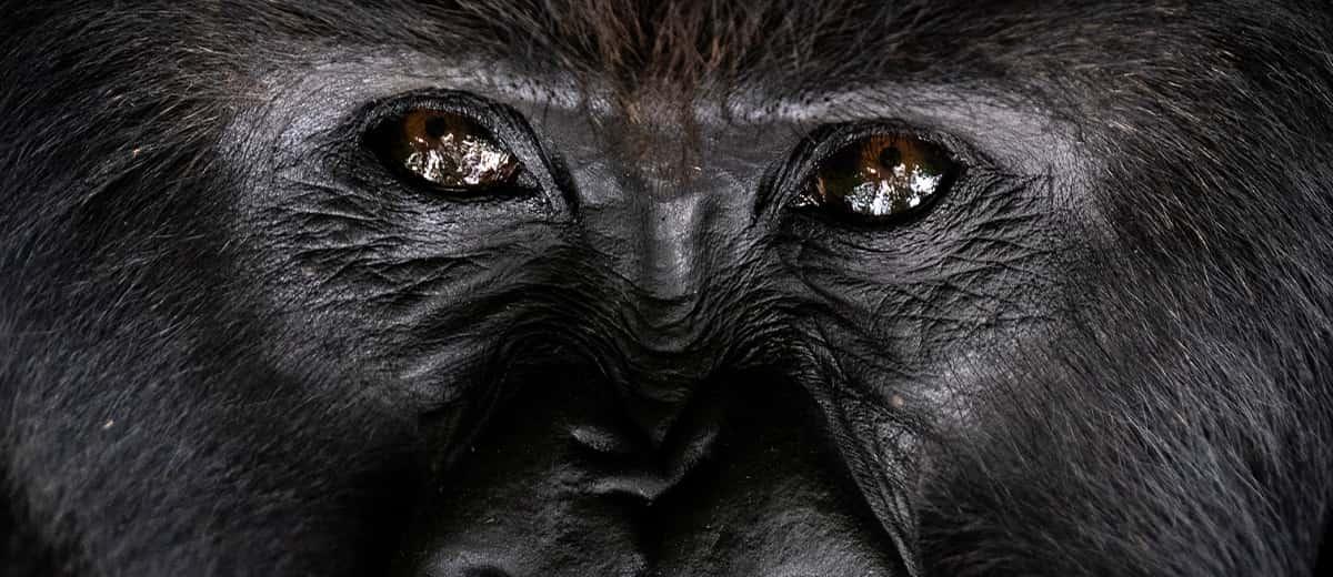 Photo of a silverback gorilla