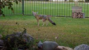 Photo of a San Joaquin kit fox