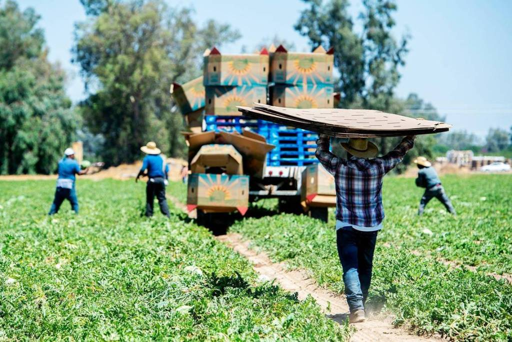 Photo of pickers harvesting watermelons in Atwater, California